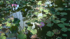 Water lilies and lily pads float in a pond. Stock Footage