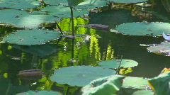 A petal floats past lily pads in a pond. Stock Footage