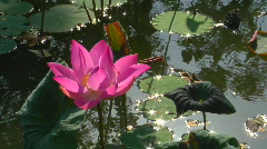 A water-lily bobs in a pond. - stock footage