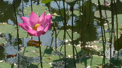 A water-lily bobs in a pond. Stock Footage