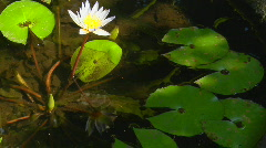 A lily and lily pads float in a pond. Stock Footage