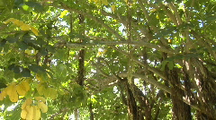 A low angle panning shot of a mangrove forest. Stock Footage