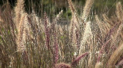 A field a wild grasses blows with the wind. Stock Footage