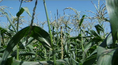 A man wears a hat and overalls as he walks through a corn field. Stock Footage