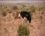 Ostriches in the African savannah Stock Footage
