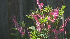 Bleeding heart flowers blowing in the wind Stock Footage
