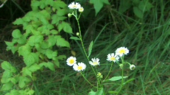 Daisy fleebane Stock Footage