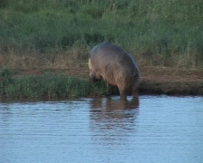 Stock Video Footage of hippo eating
