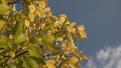 Close-up of yellow autumn elm leaves (Ulmus sp.) swaying in the wind against clo Stock Footage