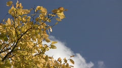 Yellow autumn elm leaves (Ulmus sp.) swaying in the wind against clouds floating Stock Footage