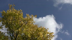 Autumn elm tree (Ulmus sp.) swaying in the wind against clouds floating across t Stock Footage