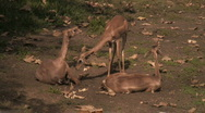Southern Gerenuk  Stock Footage