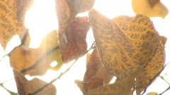 Autumn Leaves Backlit by Sunlight Stock Footage