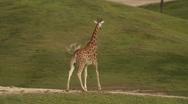 Giraffe Walks along Green Plains Stock Footage