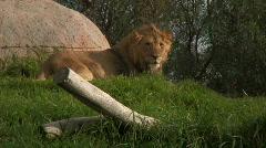Lion Roar Stock Footage