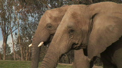 Elephants Profile with Raised Trunks Stock Footage