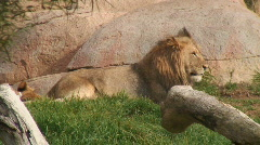 Lion on Hill Top Stock Footage