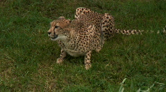 Cheetah Eating & Perched on Grass (2 Shots) Stock Footage