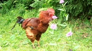 Rooster Stock Footage