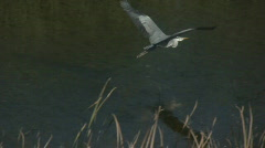 Flying Heron Stock Footage