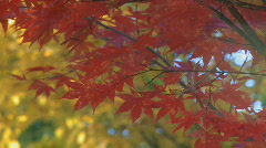Close-up of fall foliage (focus-foreground) - stock footage