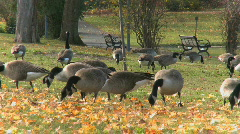 Geese feeding in a tranquil park setting (3 of 3) - stock footage
