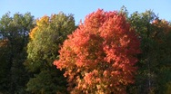 Stock Video Footage of Red autumn norway maple (Acer platanoides) swaying in the wind at the forest bor