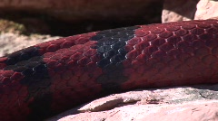 Close up of candy apple king snake on sedona red rocks Stock Footage