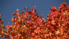 Close-up of red autumn norway maple (Acer platanoides) leaves swaying in the win Stock Footage