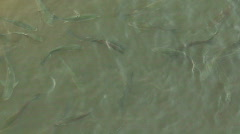 Outdoor grey mullet fish farm 1 - stock footage