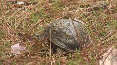 Eastern Box Turtle Stock Footage
