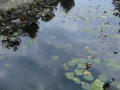 Time Lapse Sky reflections on lotus pond 20x Web Footage