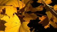 Fall Leaves 434 Stock Footage