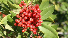Christmas Red Berries medium close up Stock Footage