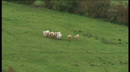 Stock Video Footage of Aerial view of cows