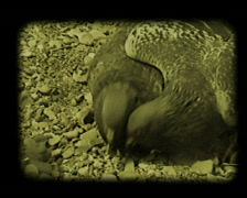 Two hungry doves Stock Footage