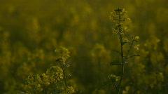 HD1080i Yellow oilseed rape field. Alternative energy - stock footage