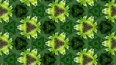 Organic kaleidoscope from growing zinnia flower 7c - stock footage