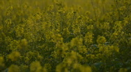 Stock Video Footage of HD1080i Yellow oilseed rape field. Alternative energy