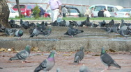 Pigeon birds in the city / people are walking on background Stock Footage
