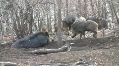 Wild boars (Sus scrofa scrofa) sounder with piglets in the wilderness  Stock Footage