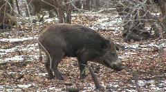 Broken wild boar piglet (Sus scrofa scrofa) in the wilderness  Stock Footage