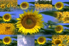 Sunflower Design - Multiscreen Stock Footage