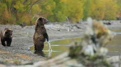 Brown bear on Kamchatka Stock Footage