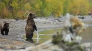 Brown bear on Kamchatka Stock Footage