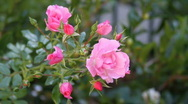 Large and small pink roses Stock Footage