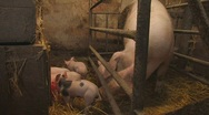 Stock Video Footage of Sow and piglets in barn