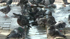 Pigeon birds in the city /  drink water and take bath Stock Footage