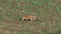 Fox walking - stock footage