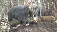 Wild boar hog (Sus scrofa scrofa) taking a rest in the wilderness  - stock footage
